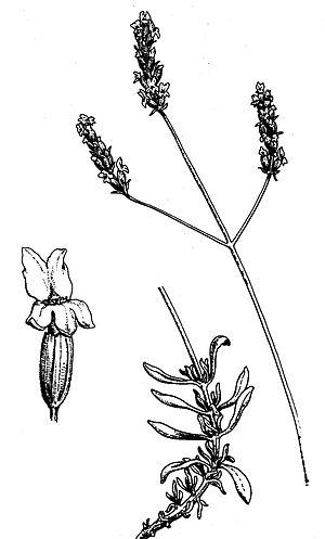 Lavandula latifolia - Lavandula latifolia.