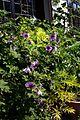 Lavatera bicolor - Flickr - peganum.jpg