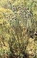 Lavender, broom, thrift undergrowth. Cork forest (37708028656).jpg