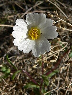 Leslie D. Gottlieb - Layia glandulosa