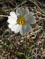 Layia glandulosa 2.jpg