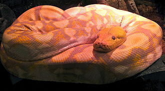 California Academy of Sciences - An albino reticulated python named Lemondrop