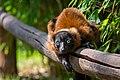 Lemur (36445987442).jpg