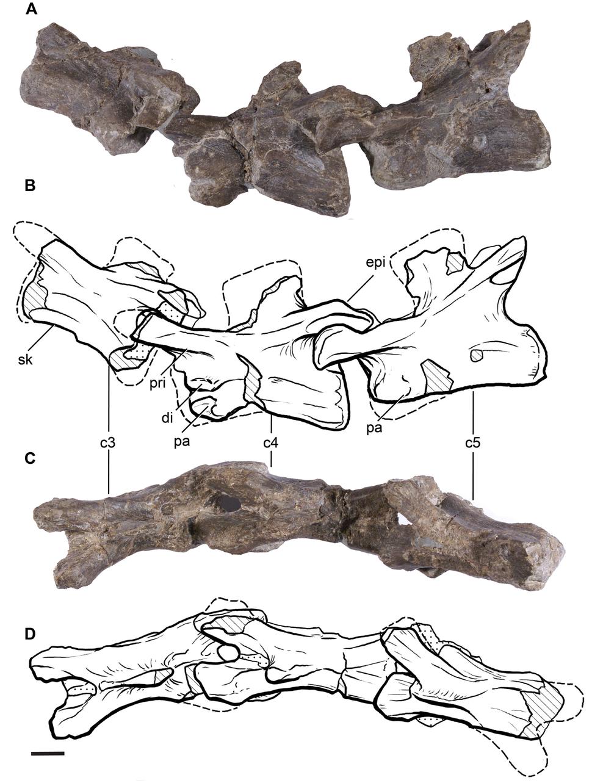Leonerasaurus cervical vertebrae