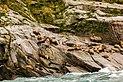Leones marinos de Steller (Eumetopias jubatus), Bahía de la Resurección, Seward, Alaska, Estados Unidos, 2017-08-21, DD 21.jpg
