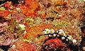 Leopard Sea Cucumber (Pearsonothuria graeffei) juvenile (8482852980).jpg