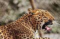 Leopard yawn.jpg