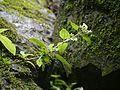 Leptodermis lanceolata (7865102708).jpg