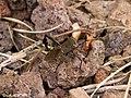 Leptoglossus australis.jpg
