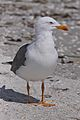 Lesser Black-backed Gull (5821313316).jpg