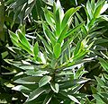 Leucadendron argenteum 3.jpg