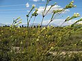 Leucadendron flexuosum 18284749.jpg