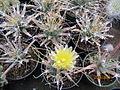 Leuchtenbergia principis (3779489028).jpg