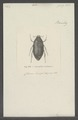 Leucopholis - Print - Iconographia Zoologica - Special Collections University of Amsterdam - UBAINV0274 020 07 0021.tif