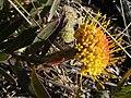 Leucospermum prostratum Hangklip 01.jpg