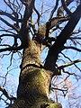 Libusin KL CZ - Dub na Beraniku Quercus petraea 140.jpg