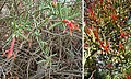 Ligaria cuneifolia (8663943808).jpg