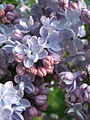 Light blue Lilacs (4546103534).jpg