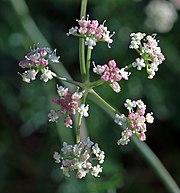 Nahaufnahme eines Blütenstands des Alpen-Mutterwurz