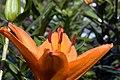 Lilium asiatic Loretto 2zz.jpg
