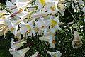 Lilium regale (03).JPG