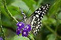 Lime butterfly gandhinagar.jpg