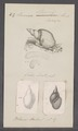 Limnaea stagnalis - - Print - Iconographia Zoologica - Special Collections University of Amsterdam - UBAINV0274 088 04 0008.tif