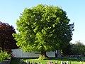 Linde auf dem Friedhof (Ostheim) 03.JPG