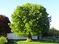 Linde auf dem Friedhof (Ostheim) 04.JPG