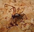 Linphya triangularis male Linyphiidae (24050818957).jpg