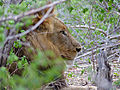 Lion (Panthera leo) (11754986443).jpg