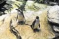 Lisbon, Oceanarium, Magellanic penguin.JPG