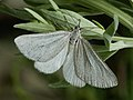 Lithostege farinata - Толстобёдрая пяденица белая (40247144994).jpg