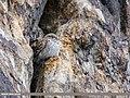 Little Owl (Athene noctua) (41285030570).jpg