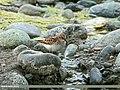 Little Stint (Calidris minuta) (21704254666).jpg