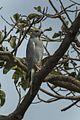 Lizard Buzzard - Gambia (32497630012).jpg