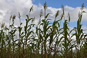 Agriculture in Malawi - A local Malawian variety of sorghum