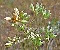 Lomatium geyeri green fruit with Puccinia rust.jpg