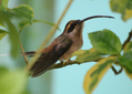 Long-billed-hermit.png