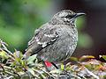 Long-tailed Mockingbird RWD1.jpg