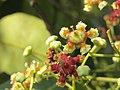 Lophopetalum wightianum flowers at Aralam Wildlife Sanctuary (1).jpg