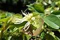 Loropetalum chinense kz7.jpg