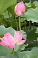 Lotus couple.jpg