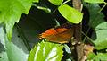 Loxura atymnus - Yamfly 15.JPG