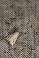 Luceria oculalis (30151957173).jpg