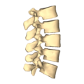 Lumbar vertebrae - close-up - lateral view.png