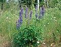 Lupinus polyphyllus 1-sdickens (5097917694).jpg