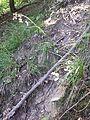 Luzula luzuloides var. luzuloides sl2.jpg