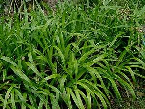 Luzula - Luzula sylvatica, great wood-rush