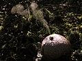 Lycoperdon expulsando esporas (6765794999).jpg